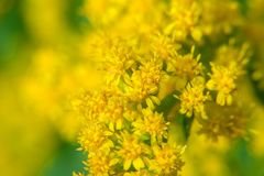 Macro Photo Solidago virgaurea. Solidago virgaurea European goldenrod or woundwort is an herbaceous perennial plant of the family Asteraceae stock photo