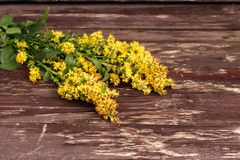 Solidago virgaurea ,European goldenrod or woundwort,is an herbaceous perennial plant of the family Asteraceae. Blurred background stock photography