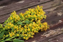 Solidago virgaurea ,European goldenrod or woundwort,is an herbaceous perennial plant of the family Asteraceae. Blurred background stock photo