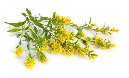 Solidago virgaurea or European goldenrod or woundwort. Isolated.  royalty free stock image