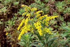 Solidago virgaurea or European goldenrod yellow flower with multiple small bubs and open and blooming flowers with green leaves. Solidago virgaurea or European royalty free stock image