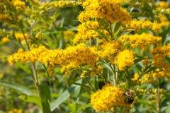 Solidago virgaurea Goldrute Blühende Pflanze heilend Stockfotografie