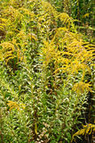 Solidago virgaurea L. Flower background royalty free stock photography