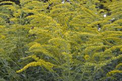 Solidago virgaurea -. Tall plant with arrays of yellow flowers royalty free stock images