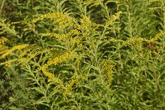 Solidago virgaurea -. Tall plant with arrays of yellow flowers royalty free stock image