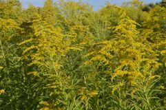 Solidago virgaurea -. Tall plant with arrays of yellow flowers stock photography