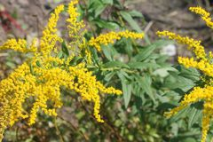Solidagogiganteaen - Goldenrod, högväxt goldenrod, jätte- goldenrod - invasive art blommar Arkivfoto