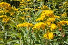 Solidagovirgaureagoldenrod Blomma som är läkande Arkivfoto