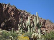 Solide en Vette Saguaros Stock Afbeelding