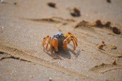 Solider Crab (Mictyris longicarpus) Royalty Free Stock Image