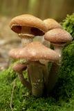 Solidipes Armillaria Стоковое Фото