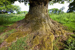 Solidly rooted. Massive old oak on a farm near Thornhill in Scotland Stock Photos