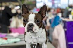 Solidny ścisły Francuski byka pies z oczami, ucho w górę i krótkim kaganem urzędniczymi, gapiowskimi, prosto obrazy royalty free