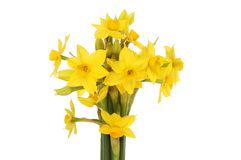 Narcissus flowers isolated. Soliel d`or narcissus flowers isolated against white Stock Photos