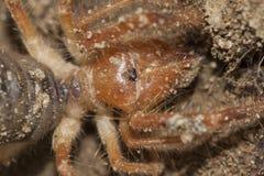Solifugae is een orde van dieren in klassenarachnida verscheiden als kameelspinnen wordt gekend, windschorpioenen, zonspinnen die royalty-vrije stock fotografie