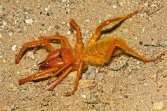 Solifuge pająk na ziemi zdjęcie royalty free