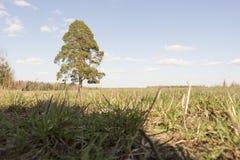 Solig äng med det ensamma trädet Royaltyfria Bilder