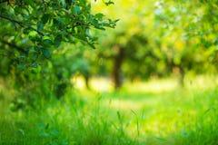 Solig bakgrund för Apple trädgårdgräsplan Sommar och höstsäsong Arkivfoto