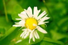solig chamomile Arkivbilder