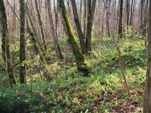 Solig dag för gammal vårskog Arkivbild