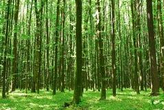 Solig dag för gröna träd i skogen. Arkivfoton
