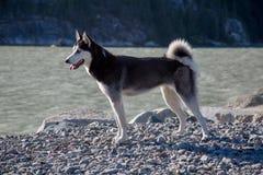 Solig dag för gullig skrovlig kust för hund utomhus- Fotografering för Bildbyråer