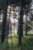 Solig dag för vår i en pinjeskog royaltyfri bild