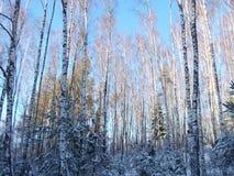 Solig dag för vinter i skogen Royaltyfri Bild