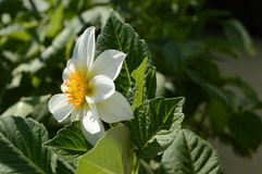 Solig dag för vit begoniablomma Fotografering för Bildbyråer