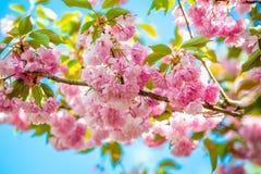 Solig dag f?r h?rlig f?r v?r blom f?r k?rsb?rsr?d blomning arkivfoton