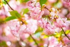 Solig dag f?r h?rlig f?r v?r blom f?r k?rsb?rsr?d blomning arkivfoto