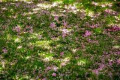 Solig dag f?r h?rlig f?r v?r blom f?r k?rsb?rsr?d blomning fotografering för bildbyråer