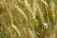solig dag Gula öron av havre guld- vete för kornfält royaltyfria bilder