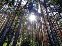 Solig dag i en pinjeskogsommar, Juli Arkivfoto