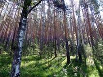 Solig dag i en pinjeskogsommar, Juli Fotografering för Bildbyråer