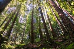Solig dag i en redwoodträdskog i Santa Cruz berg, San Francisco Bay område, Kalifornien Arkivbild