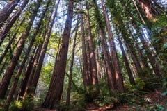Solig dag i en skog för sempervirens för redwoodträdträdsequoia Arkivfoto