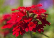 Solig dag i London, England - röd blommor och mörkt - gröna sidor arkivbild