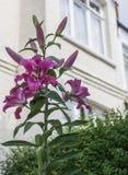Solig dag i London, England - rosa blomma och ett vitt hus royaltyfri fotografi