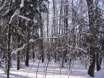 Solig dag i vinterskogen Royaltyfri Fotografi