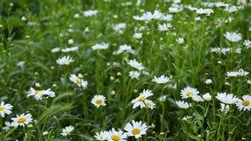 solig dag tr?dg?rds- sommar f?r blomningblommor Kamomillblommor Härlig naturplats med att blomma medicinsk kamomill på en solig d lager videofilmer