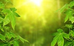 Solig grön bakgrund med sidor av den tropiska växten royaltyfri bild