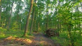 Solig grön skog i sommar, Polen stock video