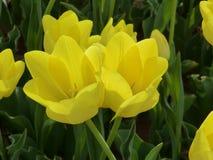 Solig gul purissimatulpan Fotografering för Bildbyråer