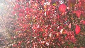 Solig nedgångdag med röda sidor Arkivbilder
