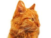 Solig orange katt på den vita bakgrunden royaltyfri fotografi