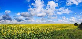 Solig panorama av att blomma solrosor royaltyfri bild