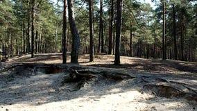 Solig pinjeskog som solen skiner ljust i detaljer och närbild för en pinjeskog arkivfilmer