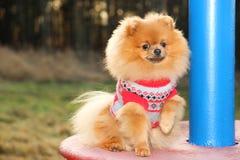 Solig pomeranian hund härlig hund pomeranian spitz Fotografering för Bildbyråer