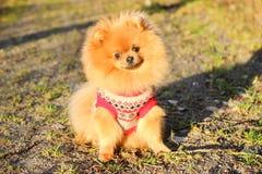 Solig pomeranian hund härlig hund pomeranian spitz Royaltyfri Bild